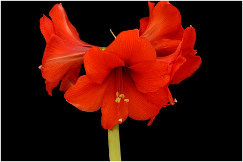 amaryllis-flower-bloom-christmas-4707913