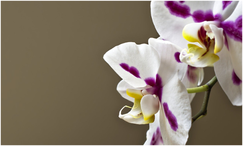 orchids-phalaenopsis-4876582