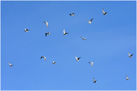 gulls-birds-flying-sky-animal-4760590