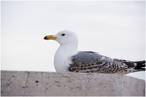 seagull-animal-bird-nature-4626159