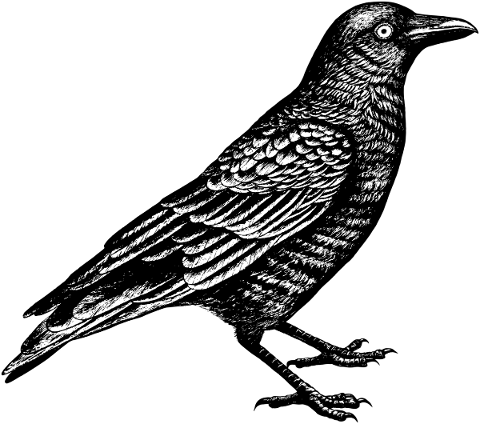 crow-bird-line-art-raven-animal-5161177