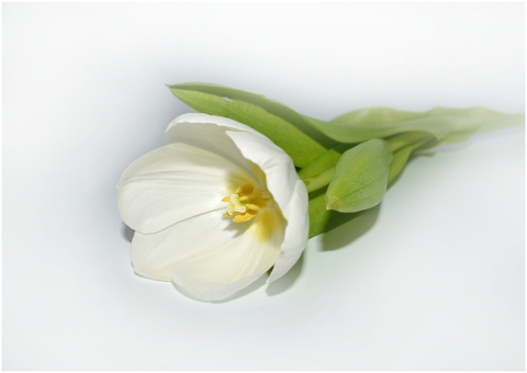 tulip-white-blossom-bloom-flower-4933226