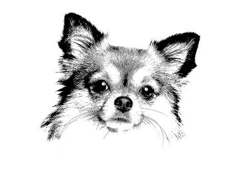 chihuahua-dog-cute-pets-small-4704927