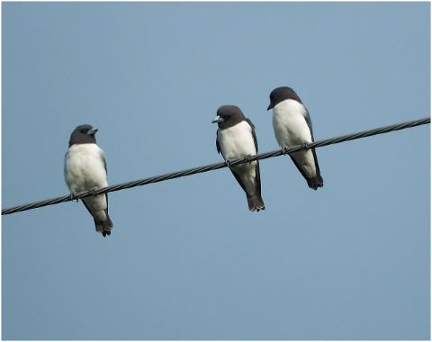 white-breasted-wood-swallow-wild-4606266