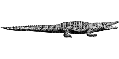 crocodile-alligator-line-art-animal-4527054