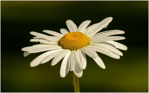 daisy-flower-white-plant-close-up-5137001