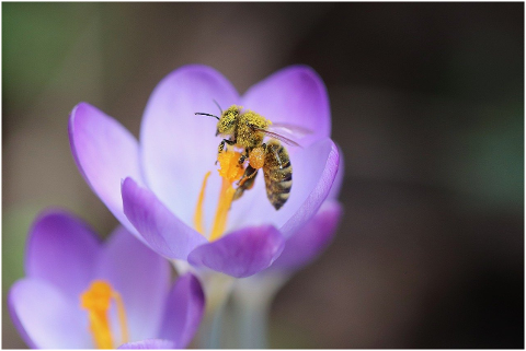 bee-honey-bee-crocus-pollen-6047004