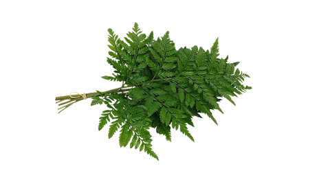 bracken-fern-leaf-fern-varieties-4744665