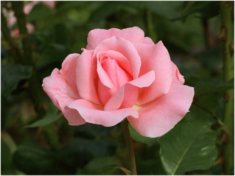rose-flower-fragrant-bloom-pink-6051119