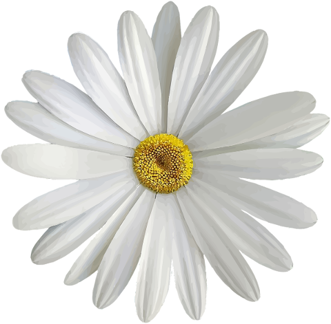 marguerite-white-bloom-flower-4740537