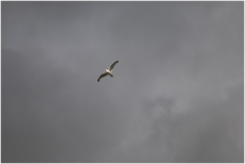 seagull-fly-sky-gray-nature-bird-5156767