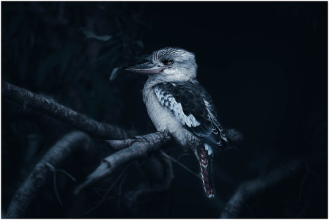 laughing-kookaburra-4913972