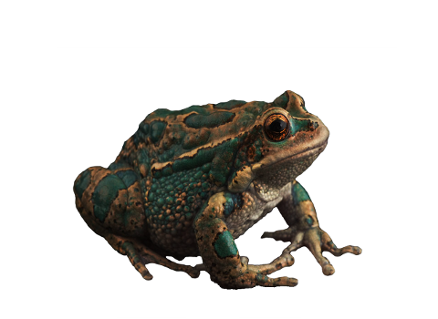 toads-frogs-amphibians-animals-4623161