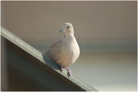 collared-dove-doves-bird-plumage-4725561