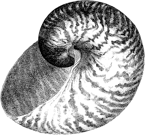 seashell-drawing-shell-snail-5556084