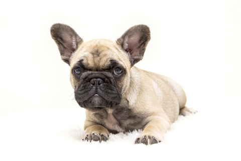 dogs-the-french-bulldog-dog-tough-4716737