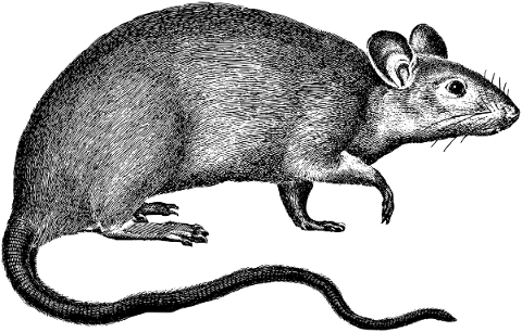 rat-rodent-line-art-mouse-animal-5139264