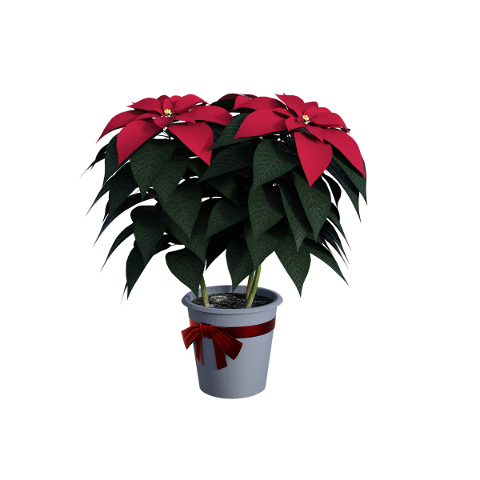 poinsettias-flowers-seasonal-4627040