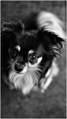 background-black-and-white-chihuahua-4642732